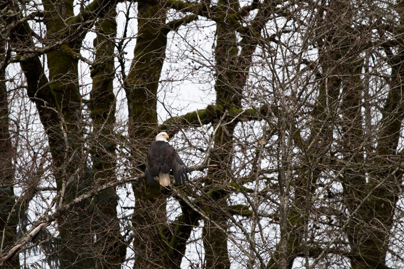 unique experiences for gifts - eagle viewing in Squamish